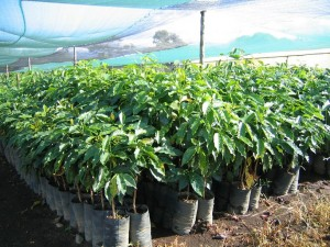 Coffee tree seedlings ready to plant. These trees will be ready to bear fruit in 3-5 years.