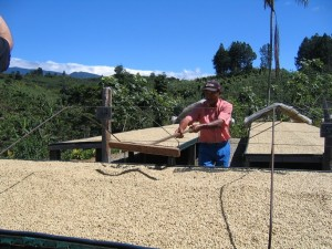Raking the parchment coffee in order to allow it to dry evenly