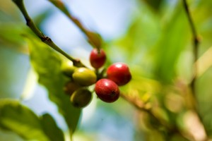 The coffee bean starts as the seed of a coffee cherry.